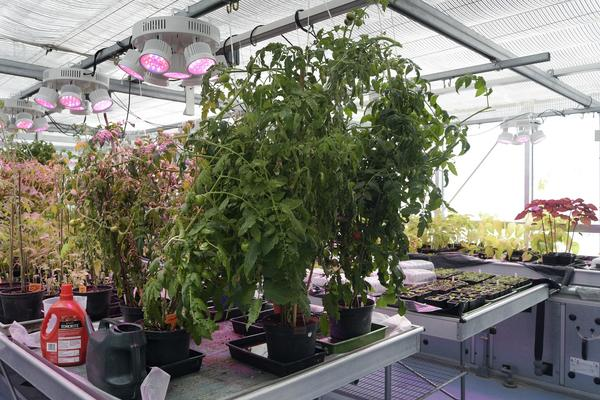 Photo of plants inside a greenhouse with heat lighting above