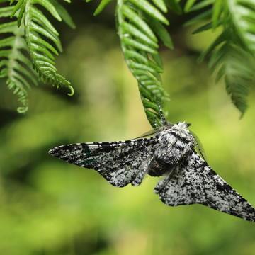 Photo of moth sitting on a leaf in a woodland habitat.